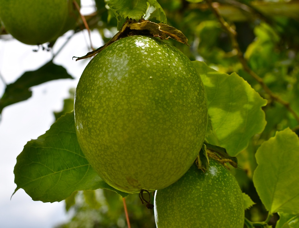 Big Thai Guava